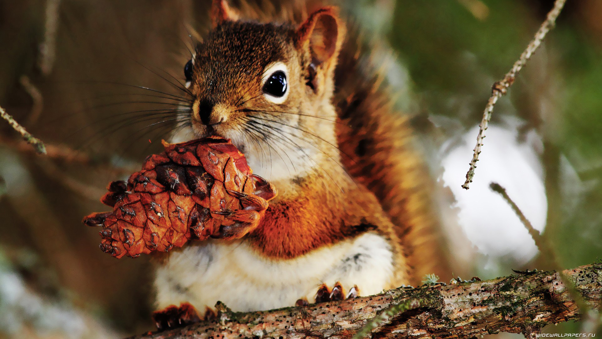 http://wp.widewallpapers.ru/2k/animals/squirrels/1920x1080/squirrel-wallpaper-1920x1080-005.jpg