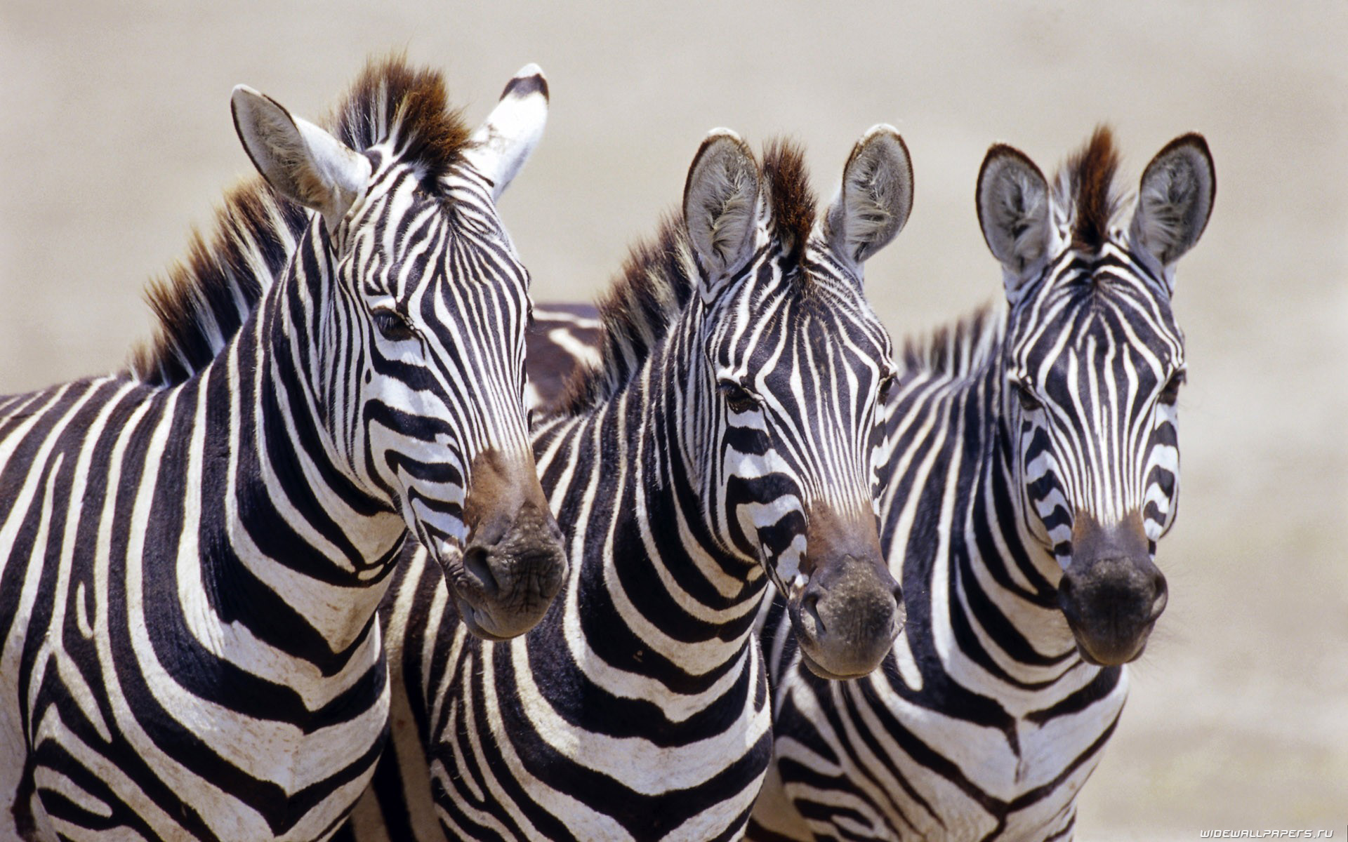 Zebras can be found all around africa